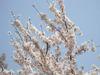 Sakura2009_02
