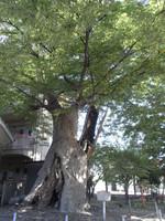 Nfw_kanbara_keyaki_tree