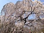 Kyoto_gyoen_sakura_izumi2
