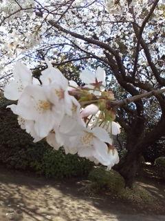 桜blooming